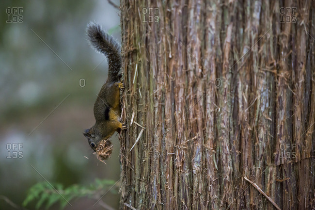 A small squirrel with food on a tree in the woods of Squamish, Canada.