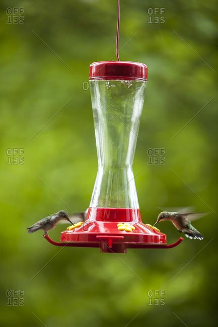 Two hummingbirds at bird feeder, Grandfather Mountain, North Carolina, USA