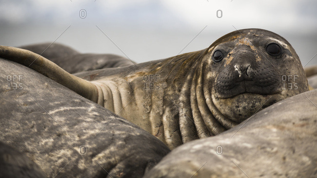 Juvenile Elephant seal, Elephant Point, Livingstone Island, South Shetland Islands, Antarctica.