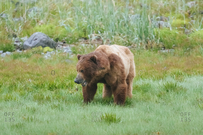 Coastal Brown Bear On The Northern Shore At The Entrance To Wachusett Inlet