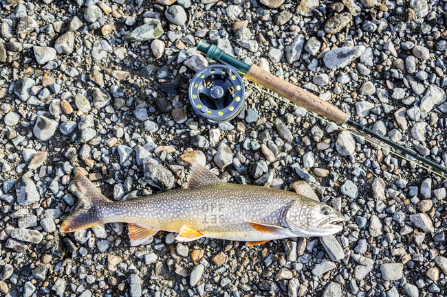 A Lake Trout Lies Next To A Fly Fishing Reel In Lake Clark National Park And Preserve, Alaska, Usa