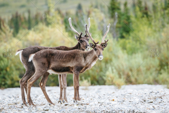 Two Young Male Caribou On A Gravel Bed In Denali National Park, Alaska, Usa