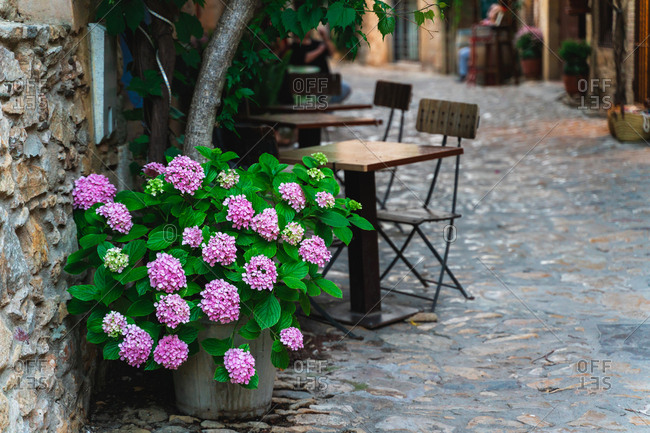 Blue hydrangeas growing iin an old street of the medieval town of Peratallada, Girona, Spain