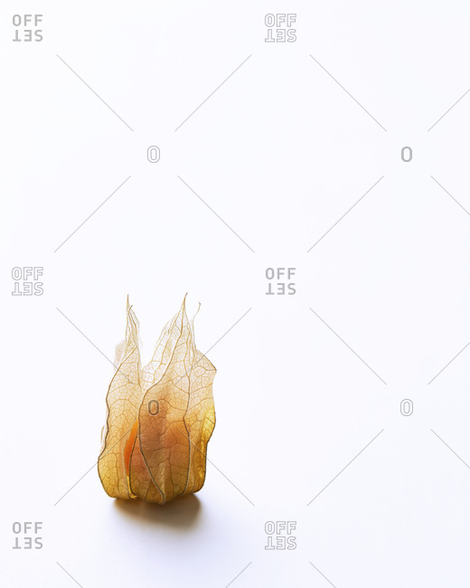 Single Cape Gooseberry with white negative space