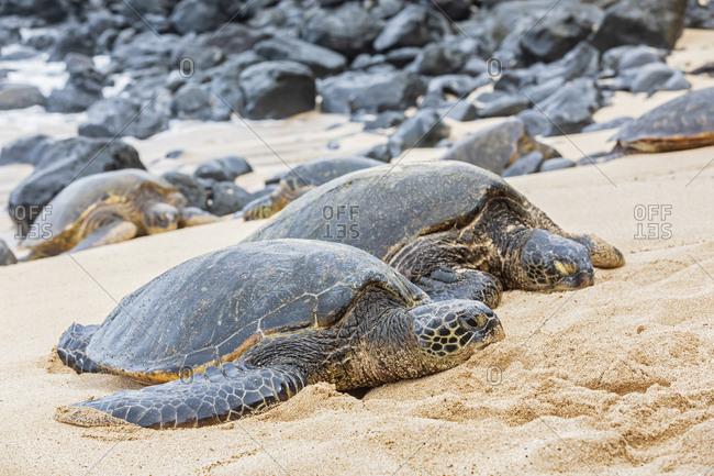 Two Green Sea Turtles on the beach- Ho'okipa Beach Park- Hawaii- USA