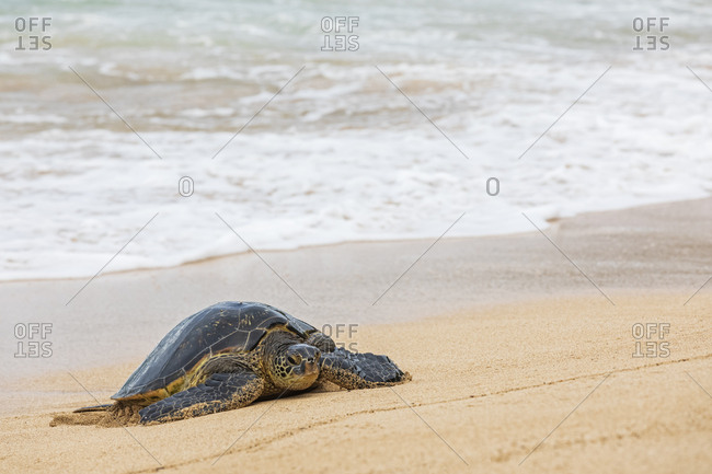 Green Sea Turtle at seafront- Ho'okipa Beach Park- Hawaii- USA