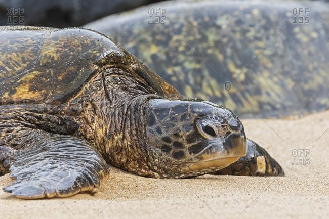 Portrait of Green Sea Turtle on the beach- Ho'okipa Beach Park- Hawaii- USA
