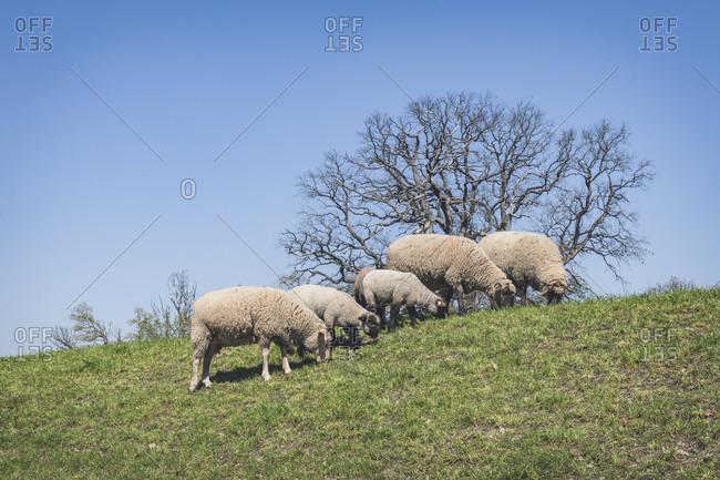 Sheep on Elbe dike- Lower Saxony- Germany