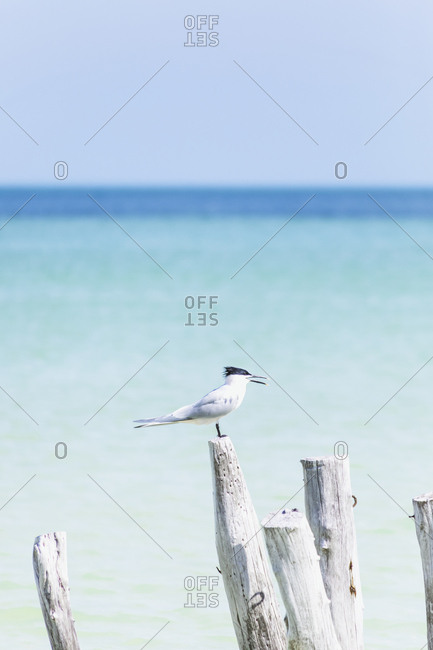 Bird sitting on a wooden stake at the sea- Holbox- Yucatan- Mexico