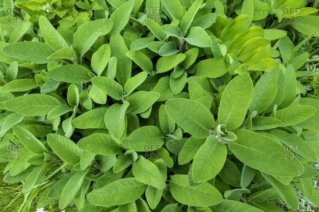 Sage in garden