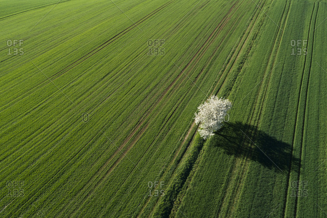Aerial View of blossoming cherry tree in green agricultural fields- springtime- Franconia- Bavaria- Germany