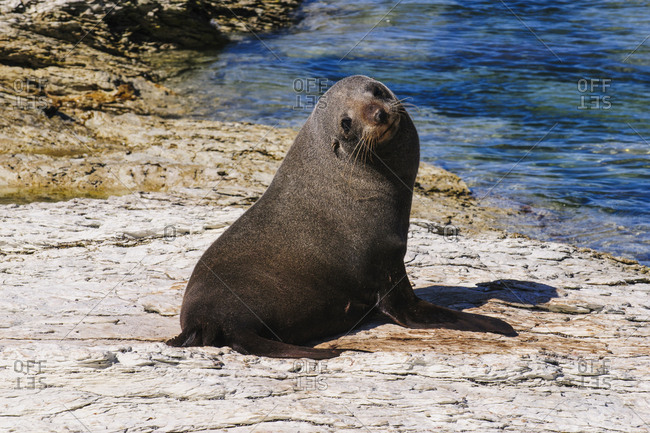 Fur seal- Kaikoura Peninsula- South island- New Zealand
