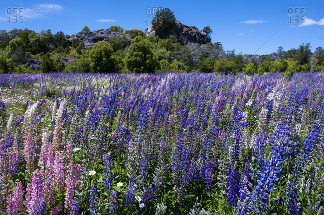 Blooming wild flowers- Los Alerces National Park- Chubut- Argentina- South America