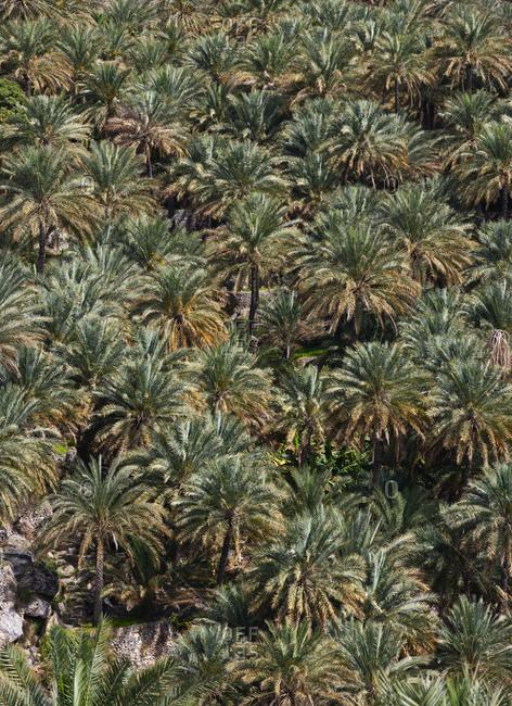 Oman- Ad Dakhiliyah Governorate- palm grove