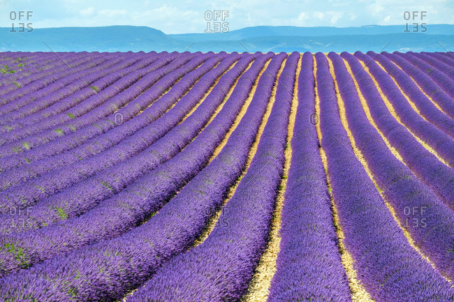 Rows of purple lavender in height of bloom in early July in a field on the Plateau de Valensole, Provence-Alpes-Cote d'Azur, France