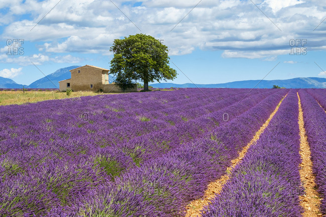 House on the edge of a lavender field in full bloom in early July, Plateau de Valensole, near Valensole, Alpes-de-Haute-Provence, Provence-Alpes-Cote-d'Azur, France