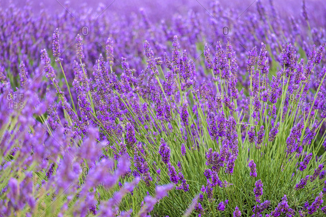 Lavender blossoms in height of bloom in early July, Plateau de Valensole, near Puimoisson, Provence-Alpes-Cote d'Azur, France