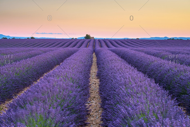 Rows of purple lavender in height of bloom in early July in a field on the Plateau de Valensole at sunset, near Valensole, Alpes-de-Haute-Provence, Provence-Alpes-Cote d'Azur, France