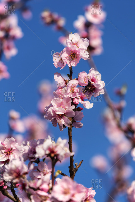 Almond blossoms, Gimmeldingen, Rhineland-Palatinate, Germany