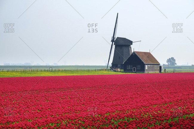 Windmill and red tulip fields in spring near village of Schermerhorn, North Holland, Netherlands