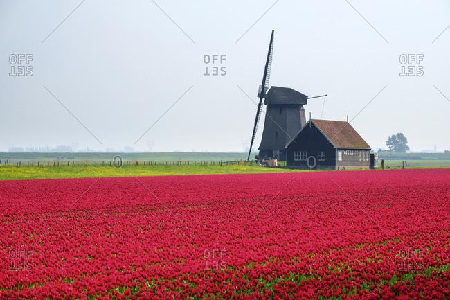 Windmill and red tulip fields in spring near village of Schermerhorn, North Holland, Netherlands