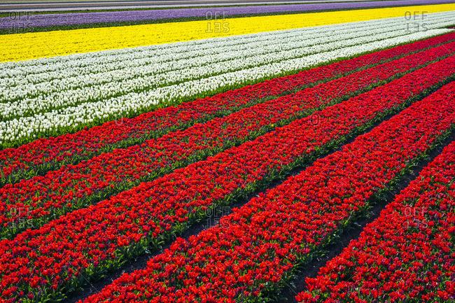 Netherlands, North Holland, Burgerbrug. Bright red tulip field in spring.