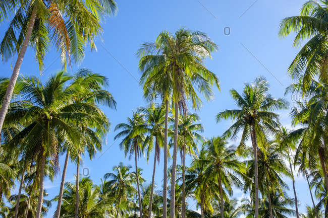 Palm tree plantation at Nacpan Beach, El Nido, Palawan, Philippines