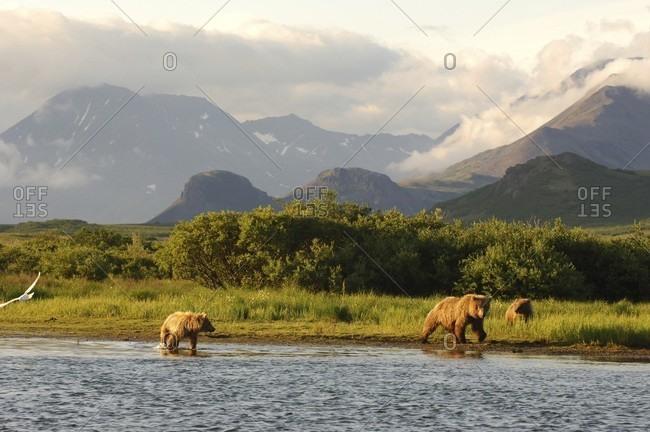 Grizzly Katmai National Park, Alaska, USA