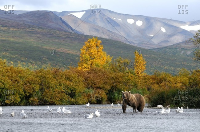 Grizzly and birds in lake in Katmai National Park, Alaska, USA