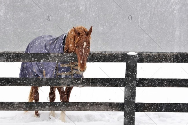 Horse standing by fence in winter, Benton, Pennsylvania, USA