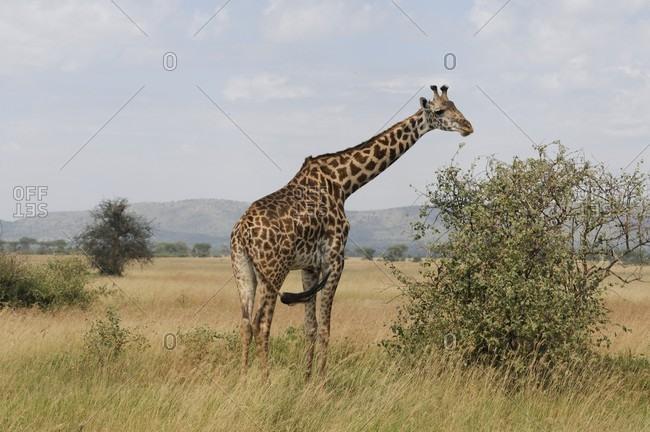 Giraffe in savannah, Africa
