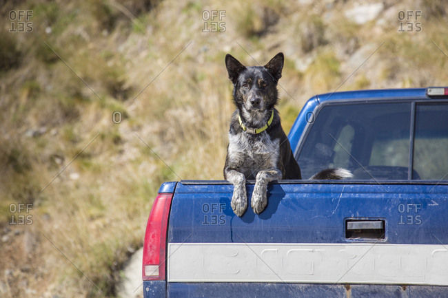 Ranch dog in the back of a Montana pickup truck.
