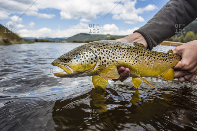 Caught brown trout (Salmo trutta) being released, Big Hole River, Montana, USA
