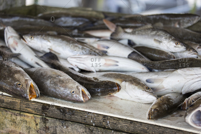 Heap of dead speckled trout lying on wooden surface, Lake Charles, Louisiana, USA