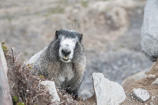 Hoary Marmot in Washington's North Cascades.