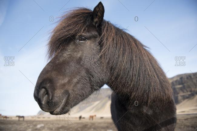 Headshot of Icelandic horse, Vik i Myrdal, Iceland