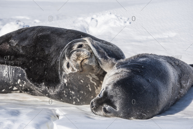 Weddell Seal on the sea ice of McMurdo Sound, Antarctica.