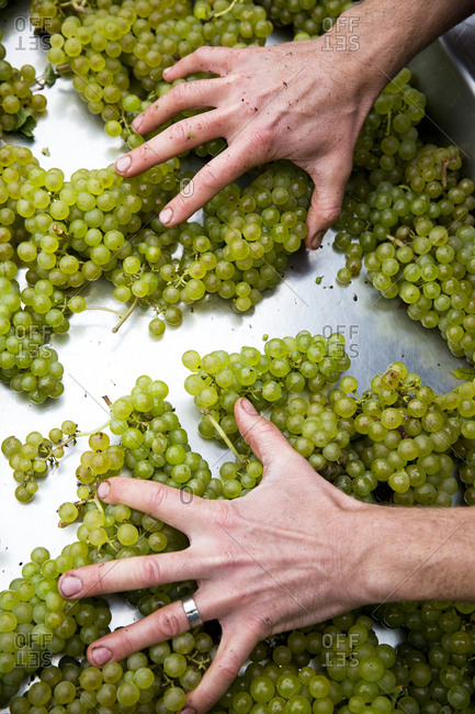 A man's hands sorts green grapes at a wine vineyard in the FInger Lakes region of upstate New York