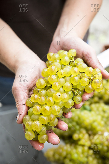 A woman's hands hold a bunch of green wine grapes at a vineyard