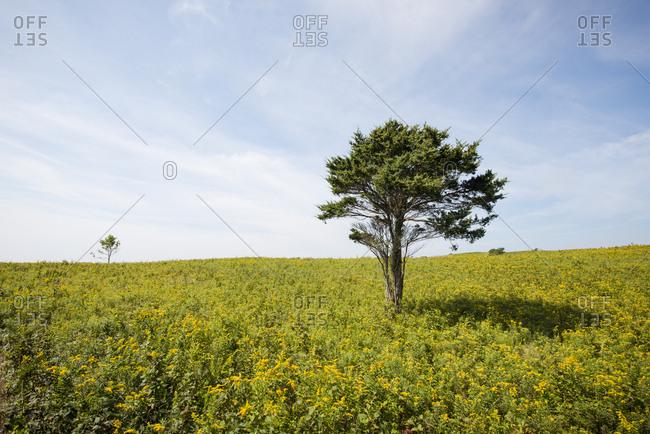 A Golden Rod Field In Rodmans Hollow In Block Island