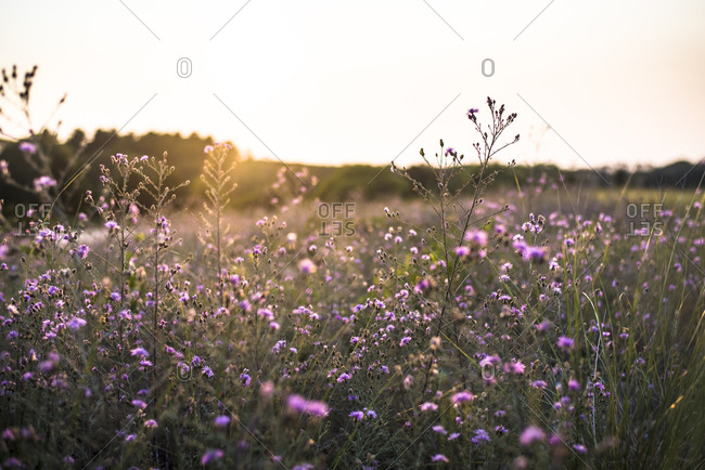 Thistles in meadow at sunset