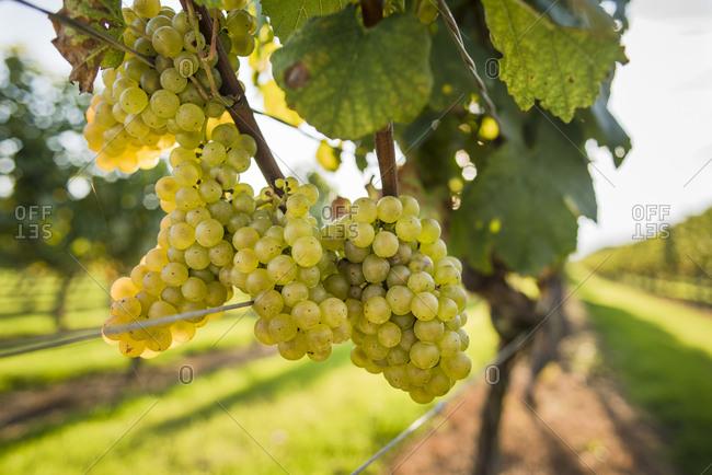 White grapes in vineyard, Sakonnet, Rhode Island, USA
