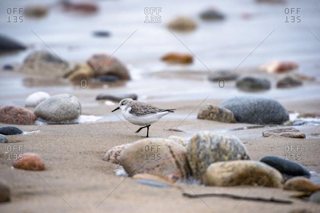 Piping (Charadrius melodus) on beach