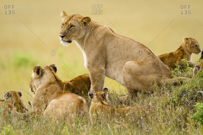 Lions keep an eye over their Masai Mara, Kenya domain.