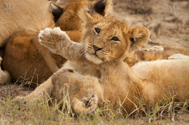 Lion cubs wrestle on Masai Mara, Kenya.