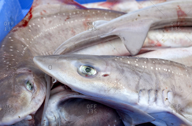 Close up of fish, Keroman Fishing Port, Lorient, Keroman, Submarine Base, Brittany, France