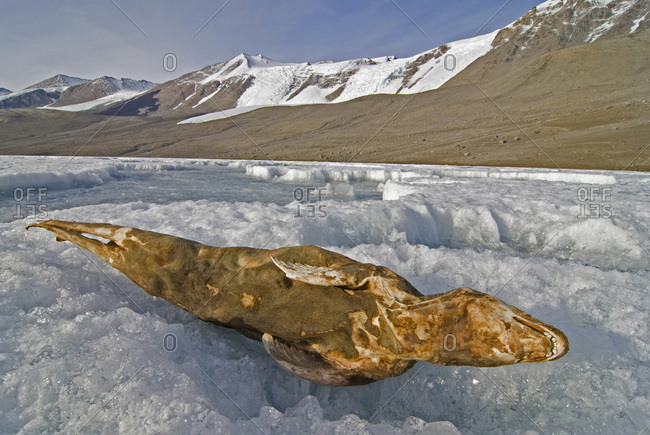 A mummified seal lays on the surface of frozen Lake Bonney in the Dry Valleys of Antarctica