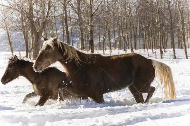 Silver Coloured Arabian horses in Somano, Italy