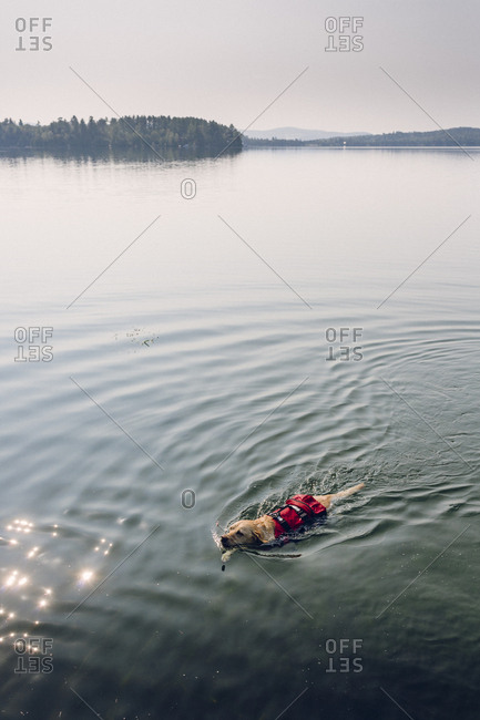 Dog swimming in a lake while wearing a canine P.F.D.