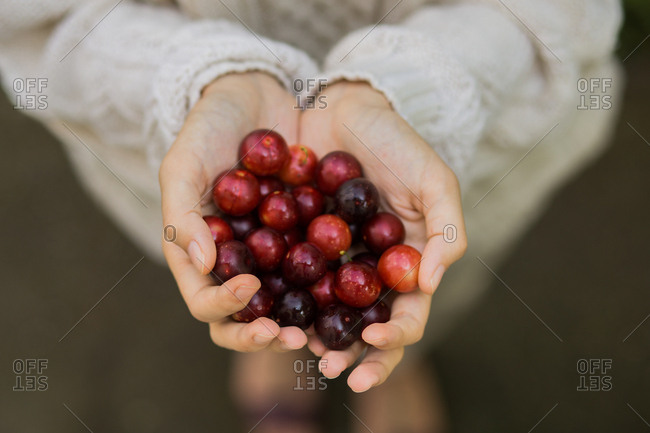 Hands of a woman holding handful of cherry plums